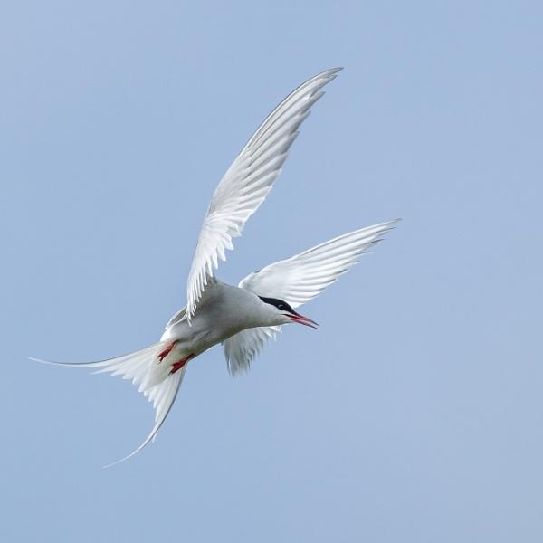 Farne Island Tern by barrywebb