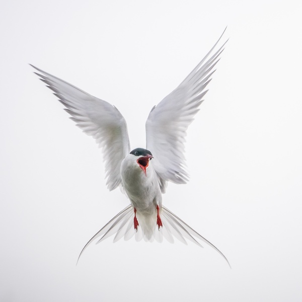 Attack of the Tern by barrywebb