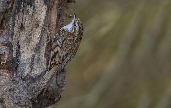 Treecreeper by Mike_Smith