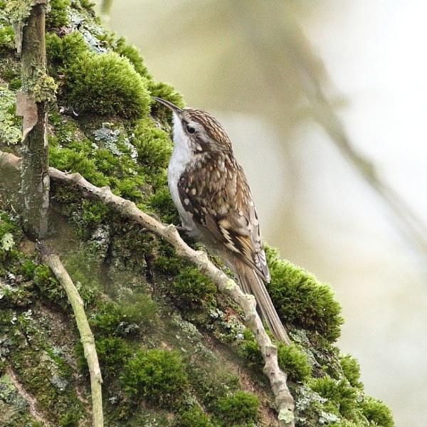Treecreeper by colin beeley