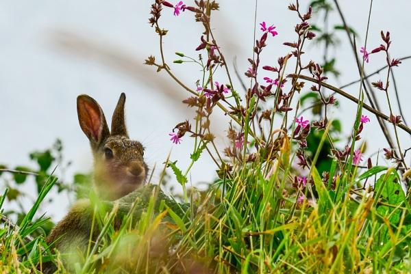 Wild Rabbit by gerryg