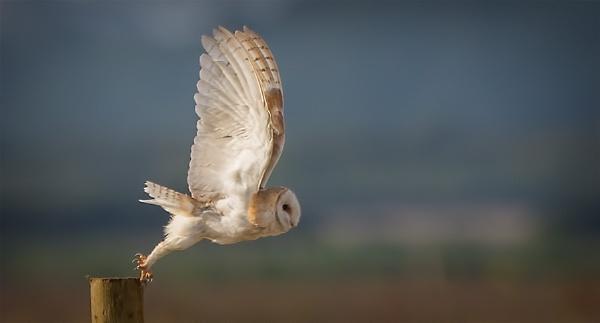 Barn Owl. by targetman
