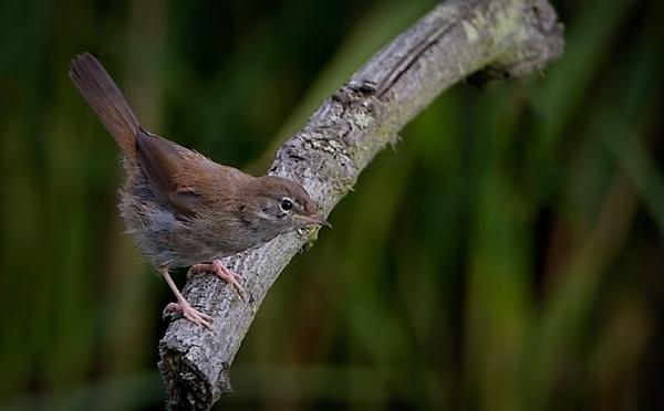 Cettis Warbler by targetman