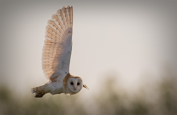 Barn Owl. by targetman
