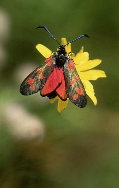 Six-spot Burnet Moth by TonyDy