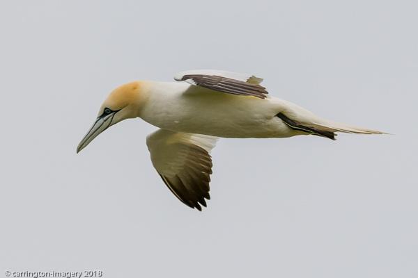 Gannet in Flight by CImagery