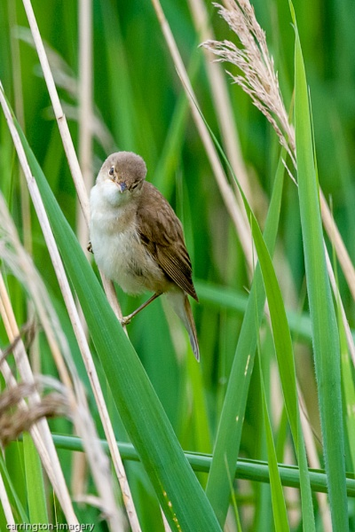 Reed Warbler by CImagery