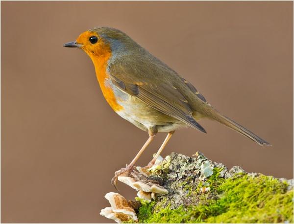 Robin on fungi by mjparmy