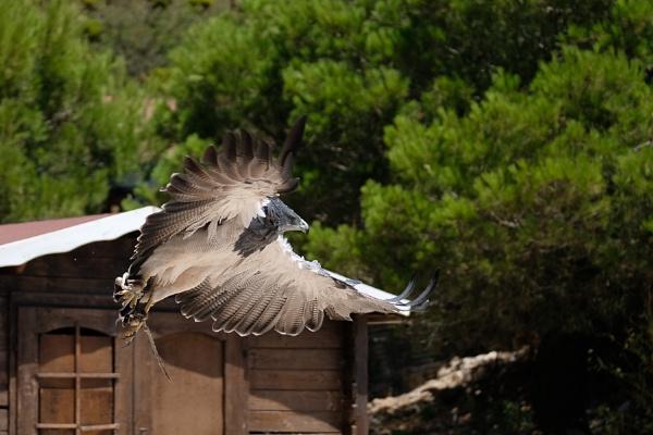 Chilean Blue Eagle at Mount Calamorro