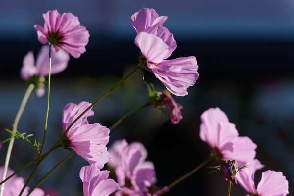 Vivid sunlit Cosmos flowers growing in a garden in Lindfield by Phil_Bird