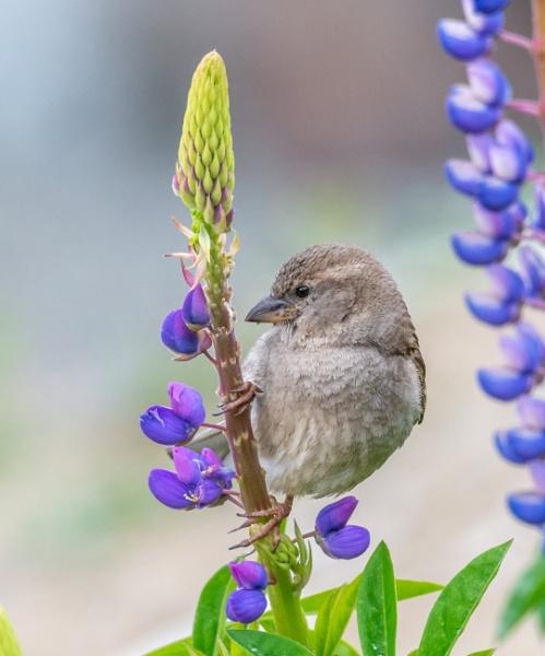 Sparrow by Stevefz