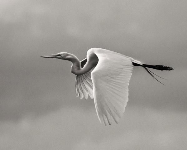 Egret flying over Myakka Lake