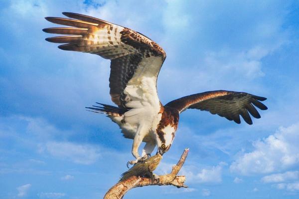 Osprey\'s Meal by john_w168
