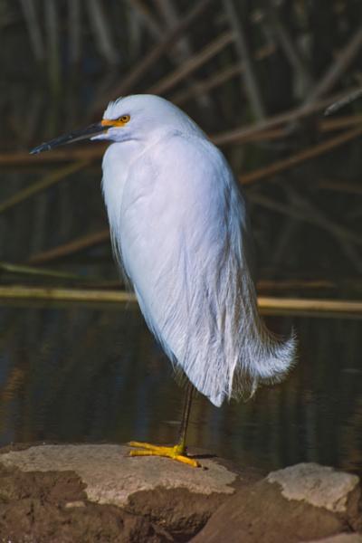 Snowy Egret Winter Plumage by john_w168