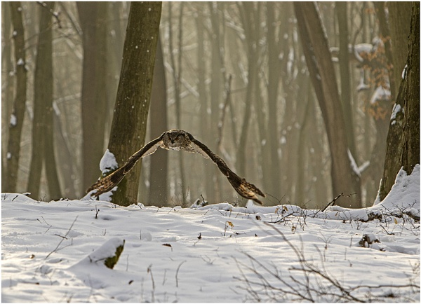 Siberian Owl flying through the forest by hibbz