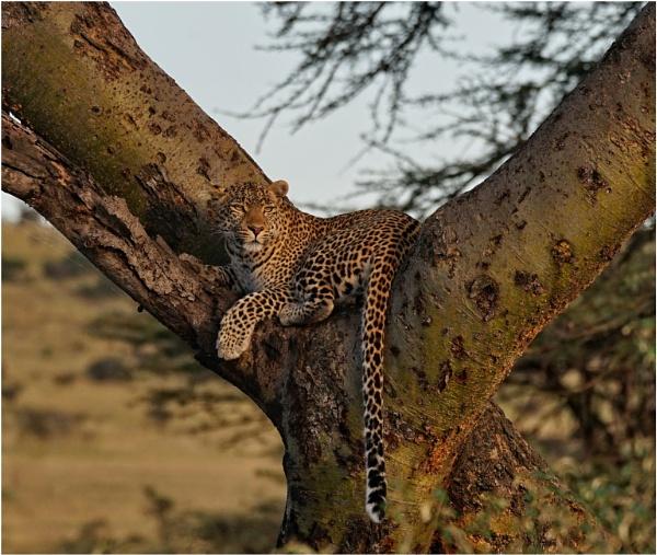 Leopard by notsuigeneris