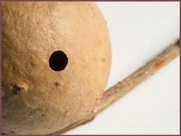 Photo : Gall Wasp Larva Hole