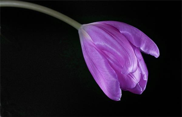 Tulip by deavilin