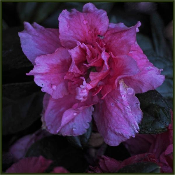stoic sodden winter rose... by estonian