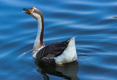 Indian swan....sankey tank