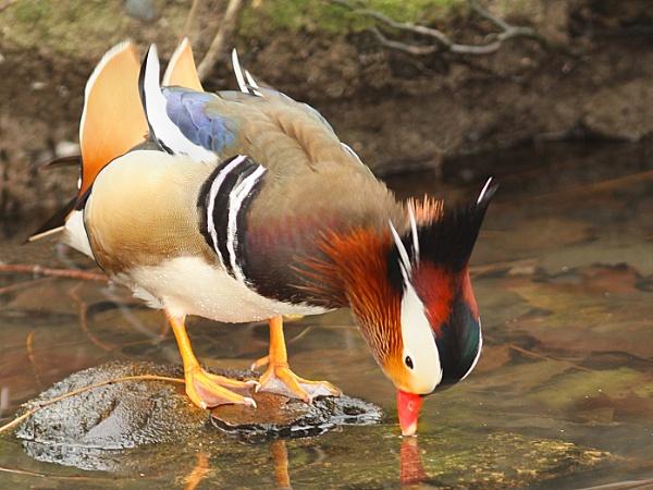 Mandarin Duck-Aix galericulata by bobpaige1