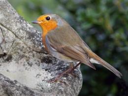 Robin-Erithacus rubecula.