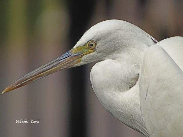 Western reef heron by SharjahBirds