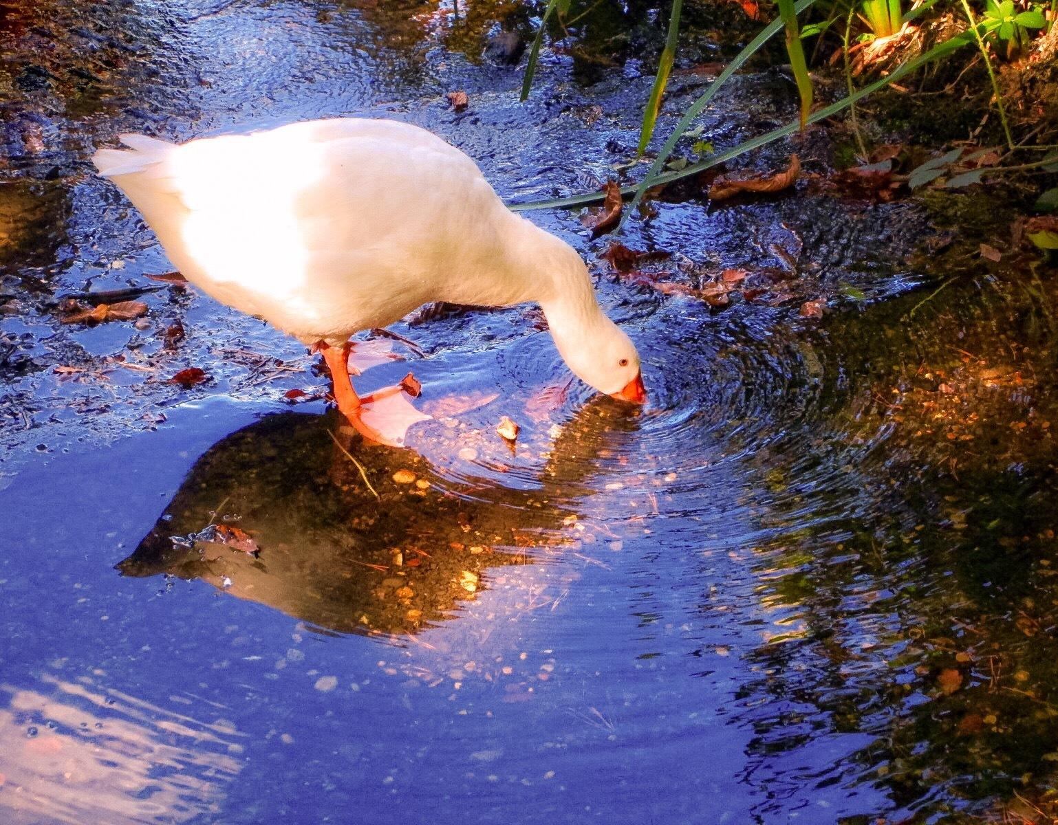 A loose goose