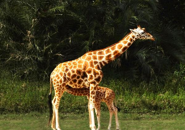 Mother & Baby Giraffe by Wireworkzzz
