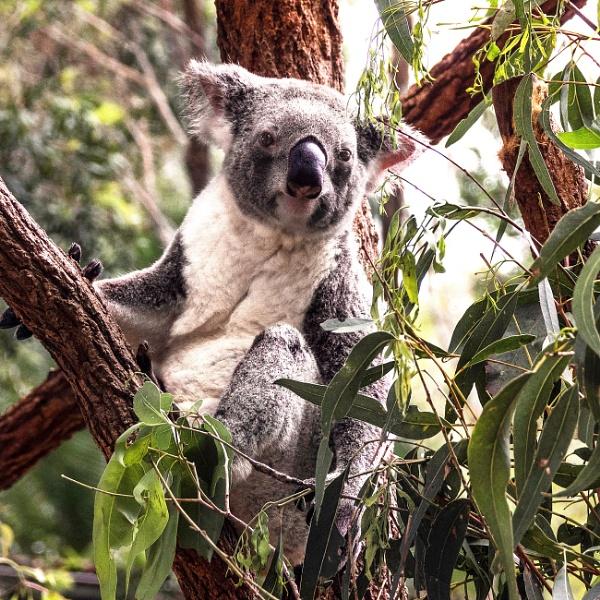 Koala Bear by Wireworkzzz