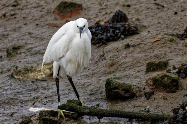 Egret head on.