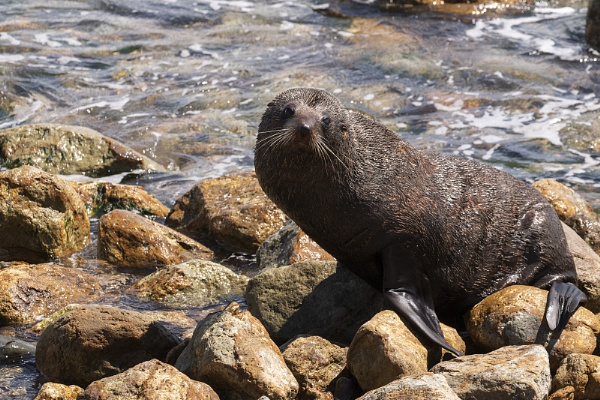New Zealand Fur Seal by Janetdinah