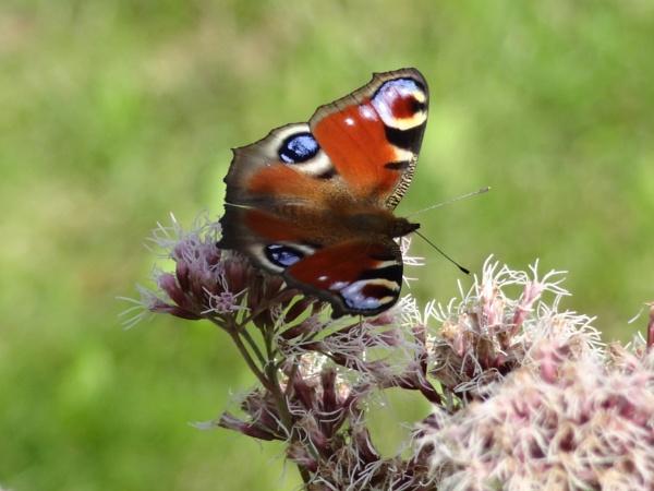 My buterfly by SauliusR