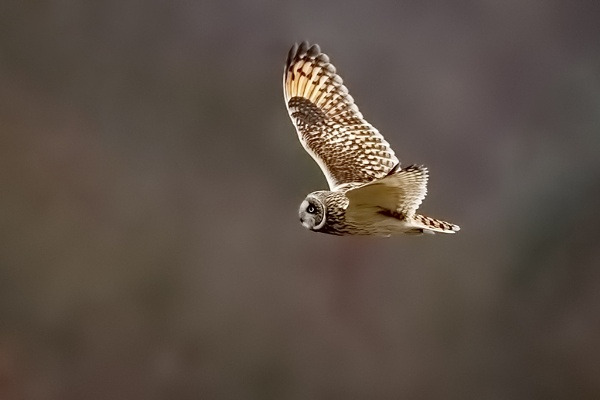 Short-eared Owl (Asio flammeus) by DerekL