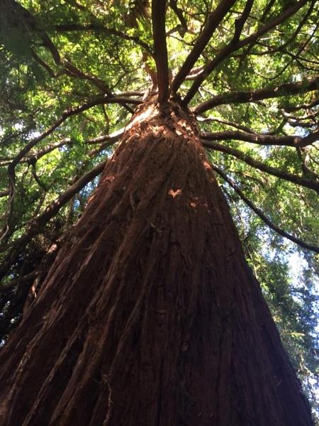 Californian Giant Redwood Kew Gardens London by topcatj