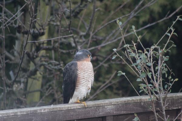 Sparrowhawk  Urban Back Garden Newcastle upon Tyne  2019 by topcatj