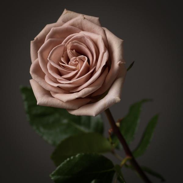 Rose by bramblesandheather
