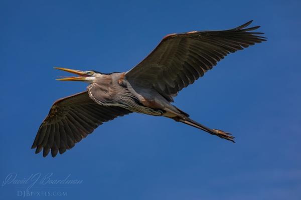 Great Blue Heron by DBoardman