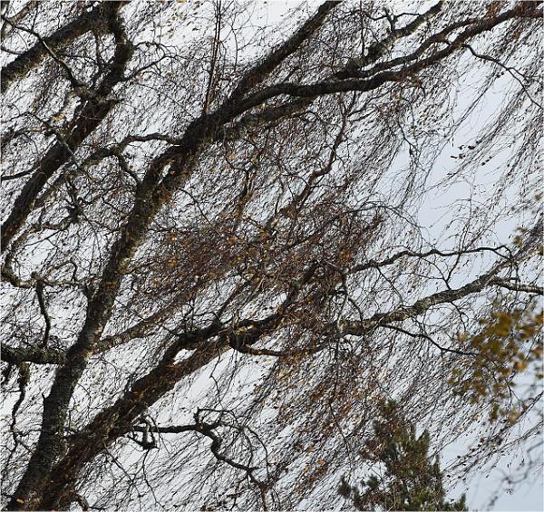 Birches by MalcolmM