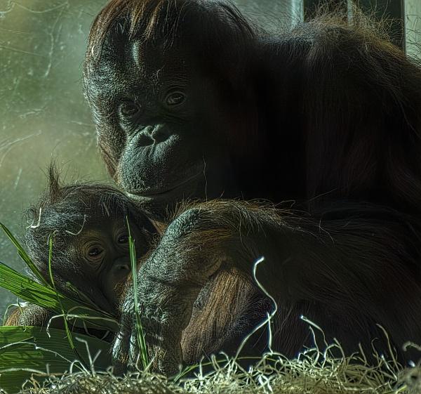 Mother and Child Orangutan Paignton Zoo