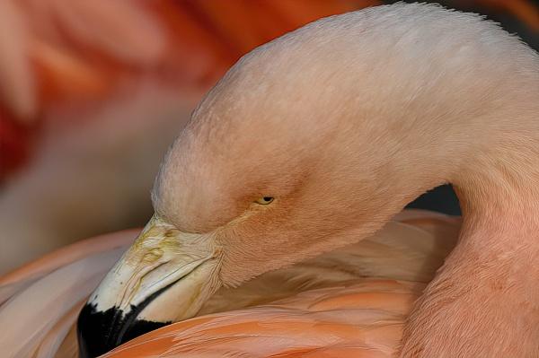 Flamingo by royd63uk