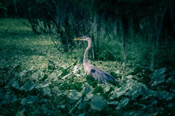 Grey heron by Nick-T