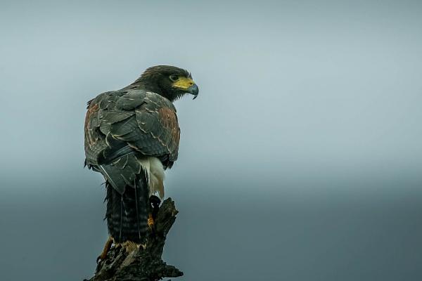 Harris hawk by Nick-T