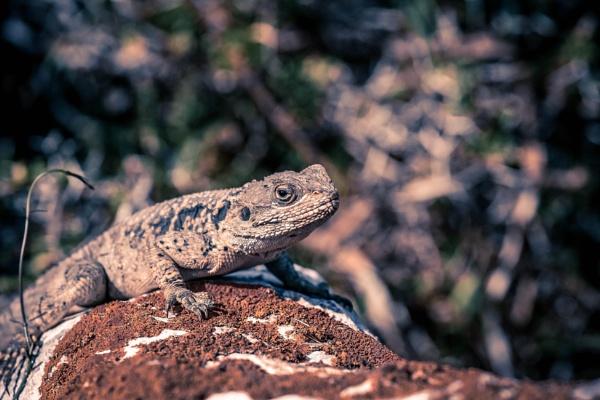 lizard by Nick-T