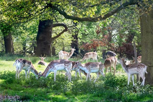 Deer in Richmond Park. by sandwedge