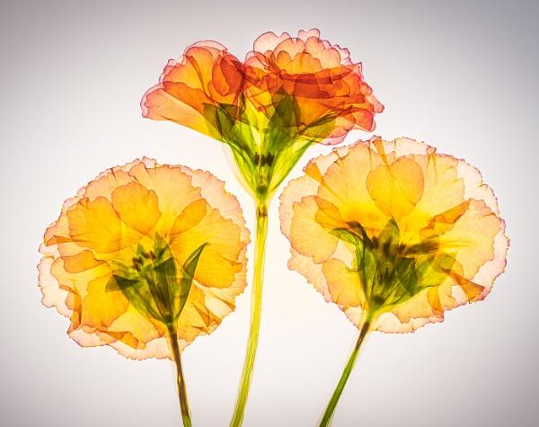 Polyanthus Trio by barrywebb