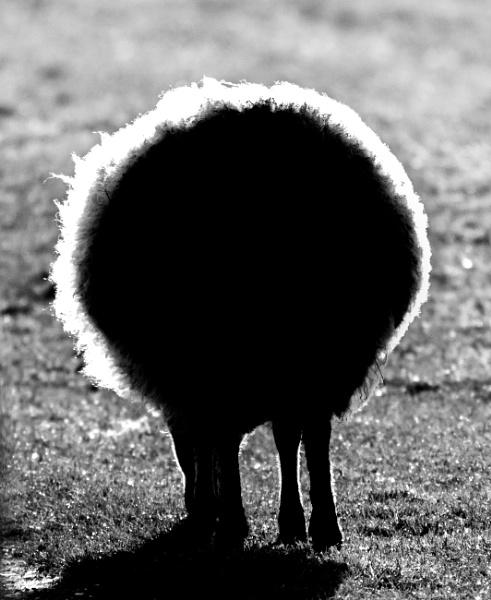 Black sheep! by oldgreyheron