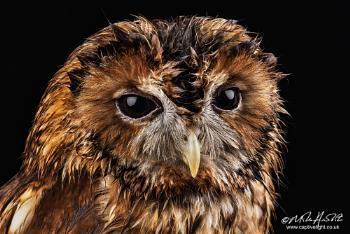 Damp Tawny Owl