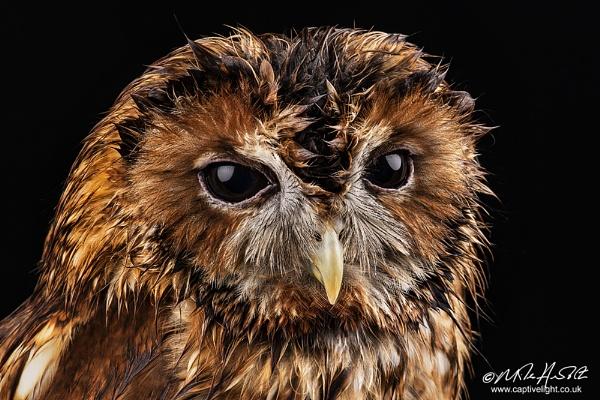 Damp Tawny Owl by Miles Herbert