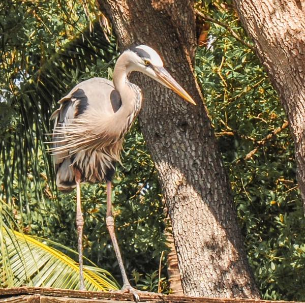 Heron (florida) by jimlad